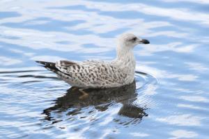 Lesser Black-backed Gull  - juvenile