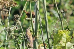 Mystery bird and Wren