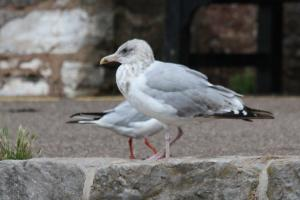 Mystery Gull with white legs