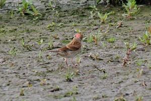 Linnet - unusually red to back of head