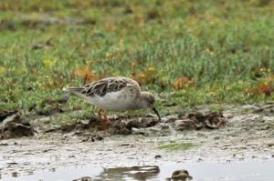 Mystery Wader 1