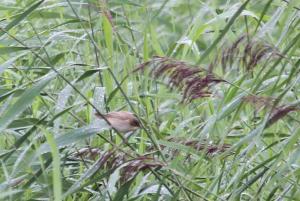 Mystery Warbler
