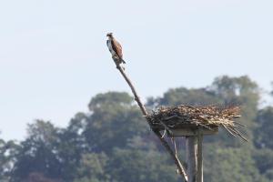 Osprey at nest site