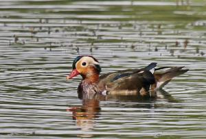 Peking Duck - male