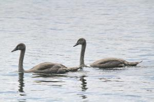 Signets - Mute Swans