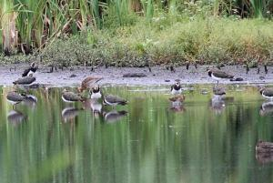 Snipe among Lapwings and Black-tailed Godwit