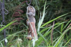 Grey Squirrell - bushy-tailed