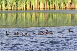 Tufted Duck female and ducklings