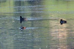 Tufted Ducks and Ruddy Duck