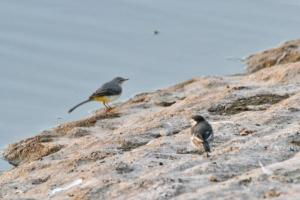 Wagtails - Pied and Grey