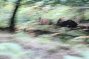Wild Boar on the run through thick forest