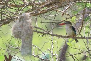 Brown-hooded Kingfisher next to a Spectacled Weaver's nest.