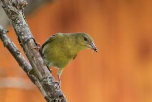 Cape Weaver - female