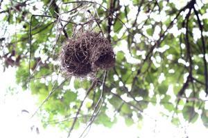 Dark-backed Weaver's nest