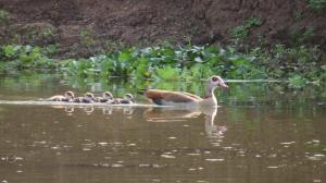 Egyptian Goose and her brood