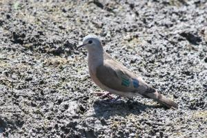 Emerald-spotted Wood Dove (note blue spot also)