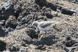 Three-banded Plover - juvenile