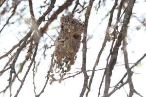 Sunbird nest - possibly Amethyst