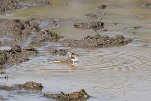 Three-banded Plover - juvenile taking a bath