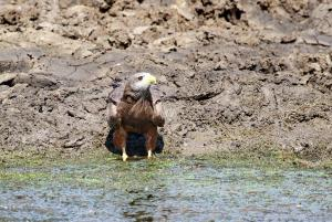 Yellow-billed Kite - look left