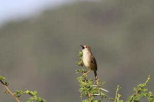 Rattling Cisticola - love the black mouth
