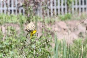 Yellow Weaver nest building