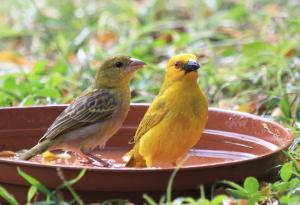 Yellow Weaver - male and female