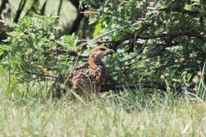 Red-winged Francolin near the hatchery