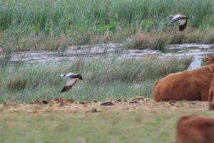 South African Shelducks - male and female