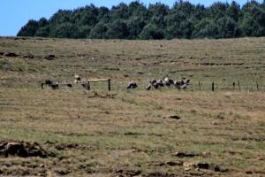 And yet another group of Cape Vultures