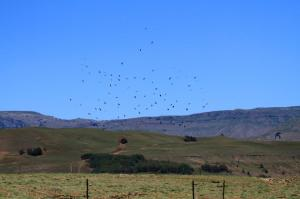 A mass of White-necked Ravens on their way.