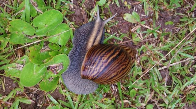 Cannibal Snail