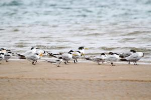 Swift, Sandwich, Lesser Crested, Little and Common Terns