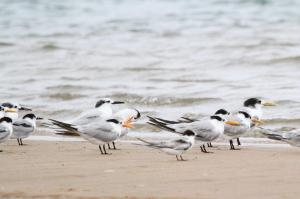 Swift, Sandwich, Lesser Crested and Common Terns