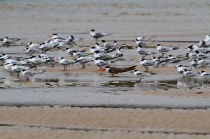 African Skimmer among Terns