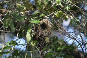 Collared Sunbird nest