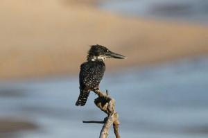 Female Giant Kingfisher