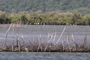 Fish Trap area with Greater Flamingos in the background