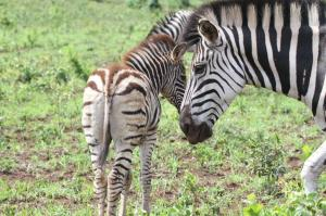 Young Zebra and mother