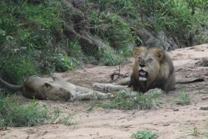 Lion and Lioness recuperating