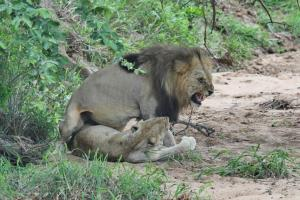 Lion and Lioness doing their thing.