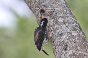 White-eared Barbet with food for its young at their nesting site.