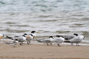 Swift, Lesser Crested and Common Terns