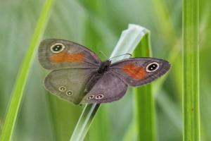 Neita Brown Butterfly