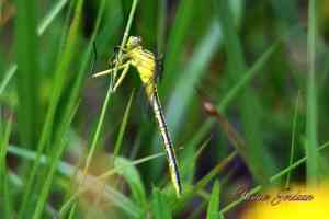 Dragonfly -Hennie Jordaan