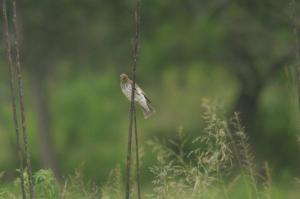 Lesser Striped Swallow or Violet-backed Starling female?