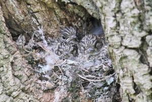 Dusky Flycatcher babies
