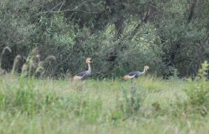 Grey-crowned Cranes with one chick (only just visible between parents)