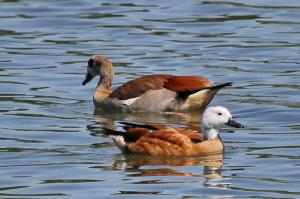 South African Shelduck - female and Egyptian Goose behind