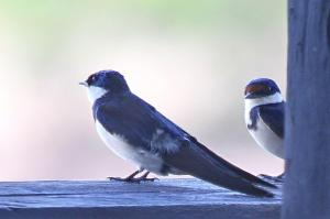 White-throated Swallow family
